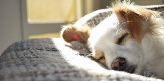 dog-dreams